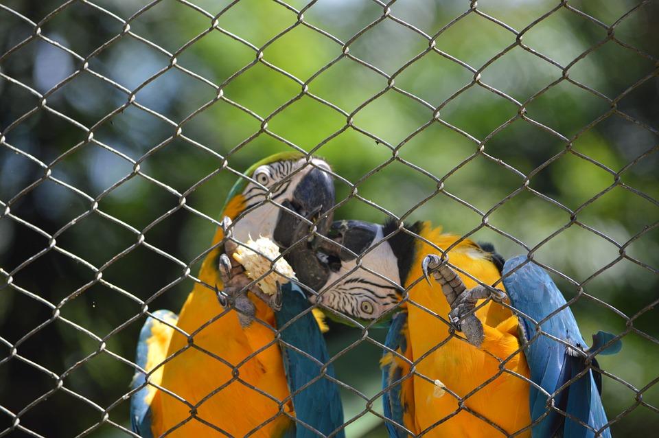 macaws kissing, bird, tropical birds