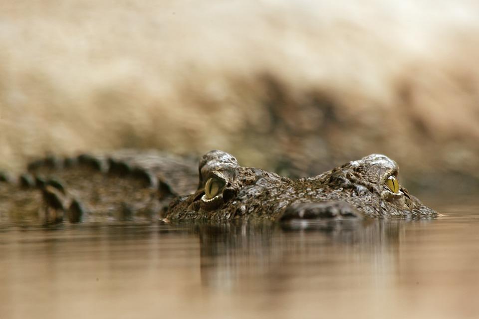 crocodile, reptile, dangerous