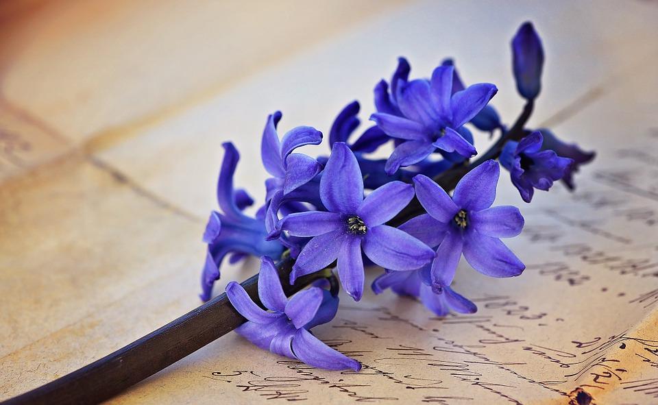 hyacinth, flower, flowers