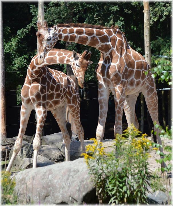 giraffe, neck wrestling, ruminant