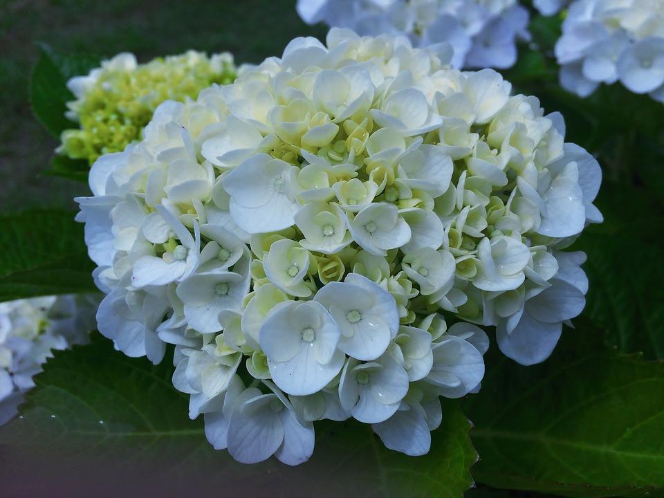hydrangea, ota kisan, white