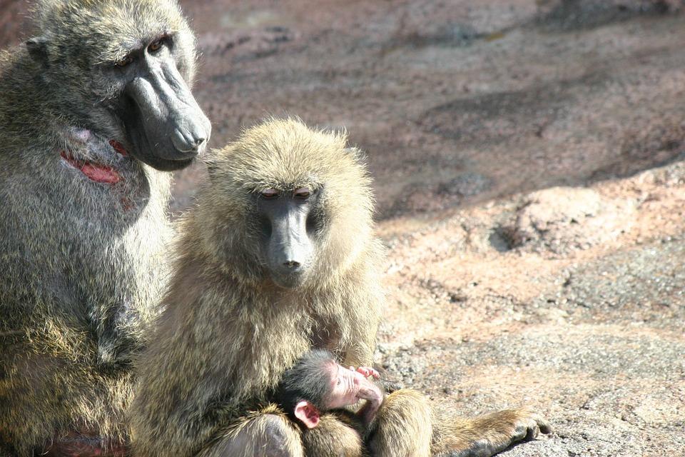 monkey, zoo, monkey baby