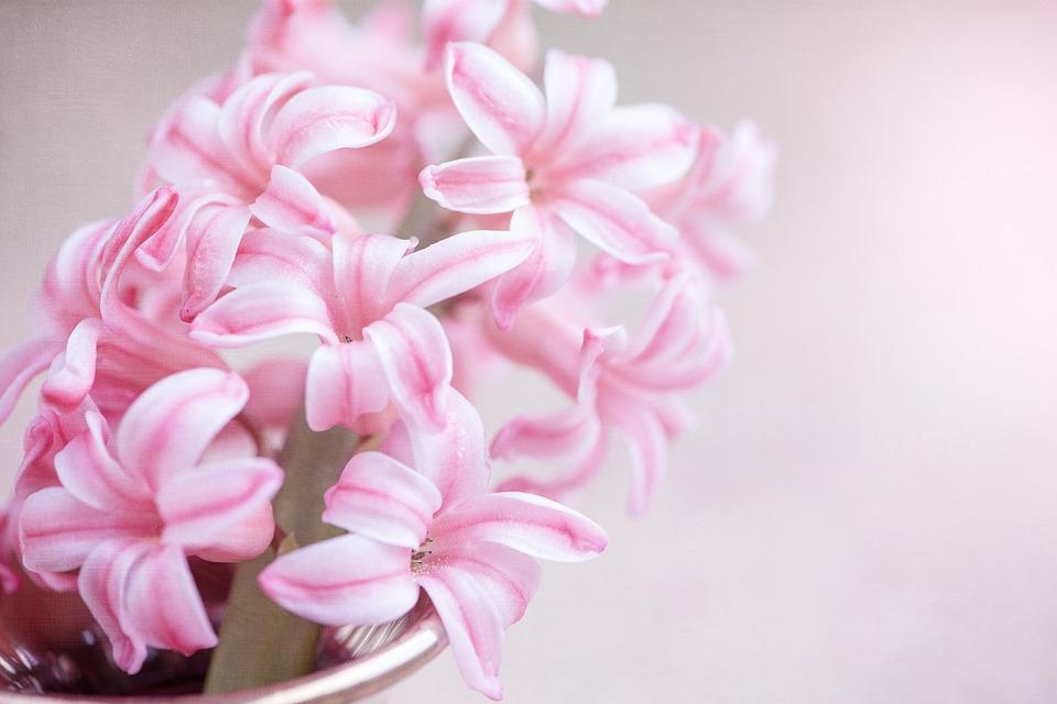 flower, hyacinth, pink flower