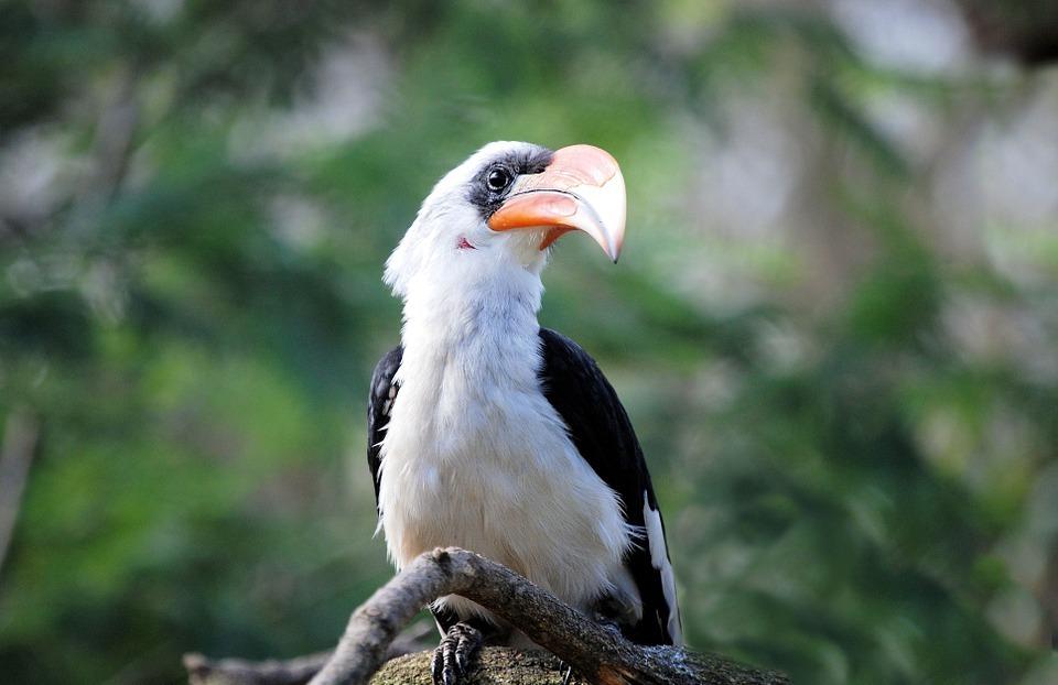 hornbill, bird, tropical