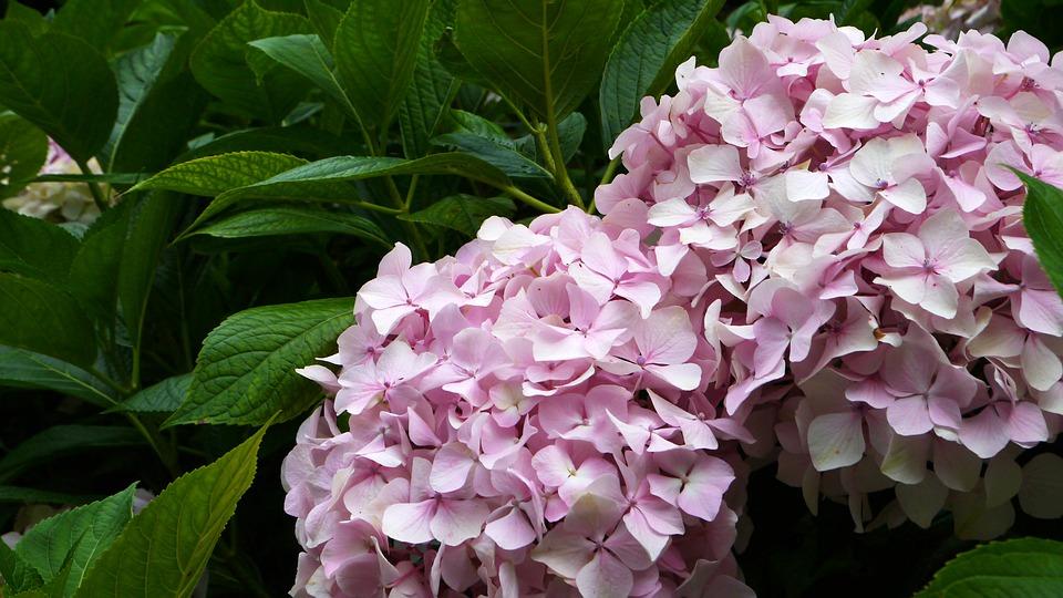 hydrangea, natural, plant