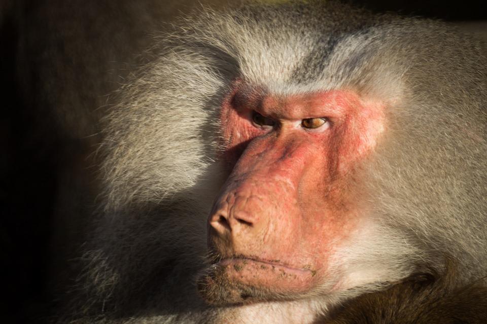 baboon, angry, zoo
