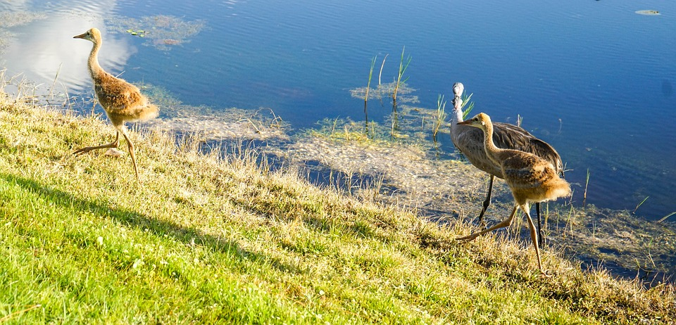 sand hill cranes, baby, brown