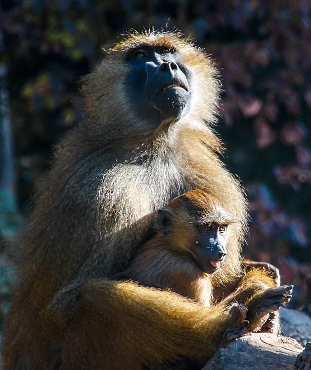 ape, berber monkeys, monkey baby