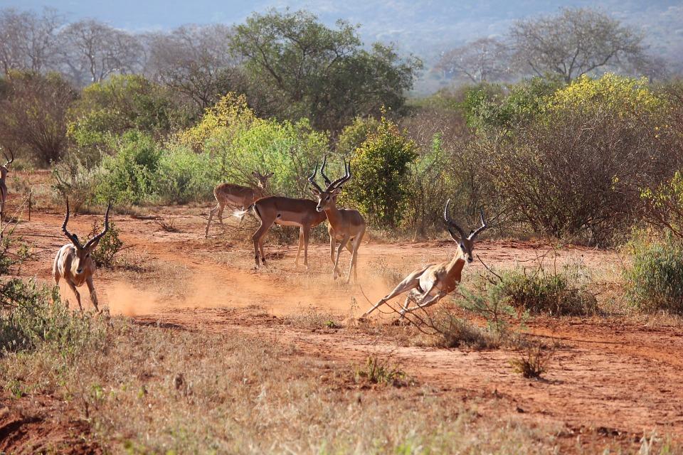 safari, kenya, antelope