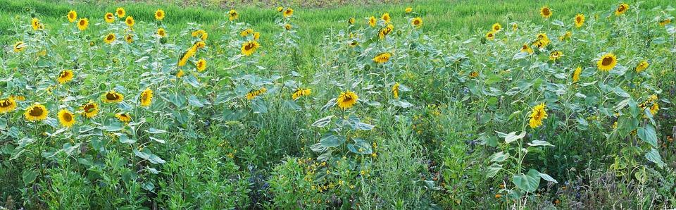 sunflower, field, relief