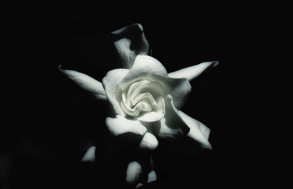 flower, gardenia, white