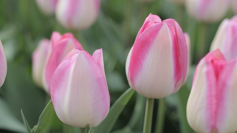 tulips, pink, spring