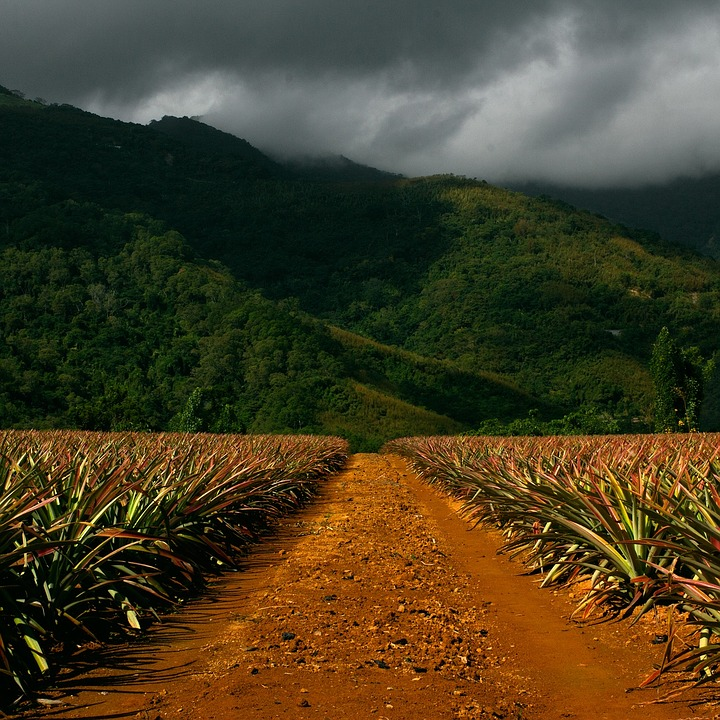 pathway, corn field, mountains