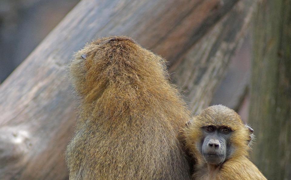 tiergarten, baboon, monkey baby