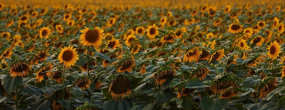 sunflowers, meadow, flowers