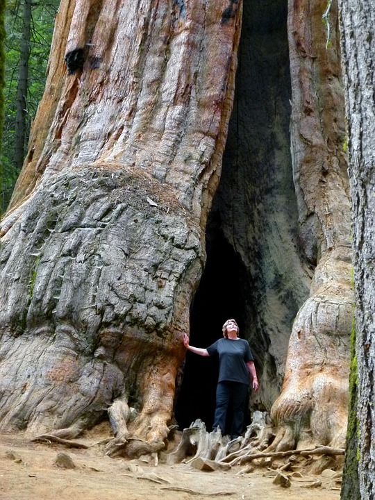 sequoia tree, nature, tourist attraction
