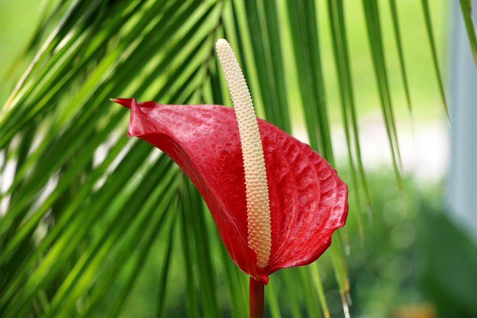 anthurium, flower, exotic