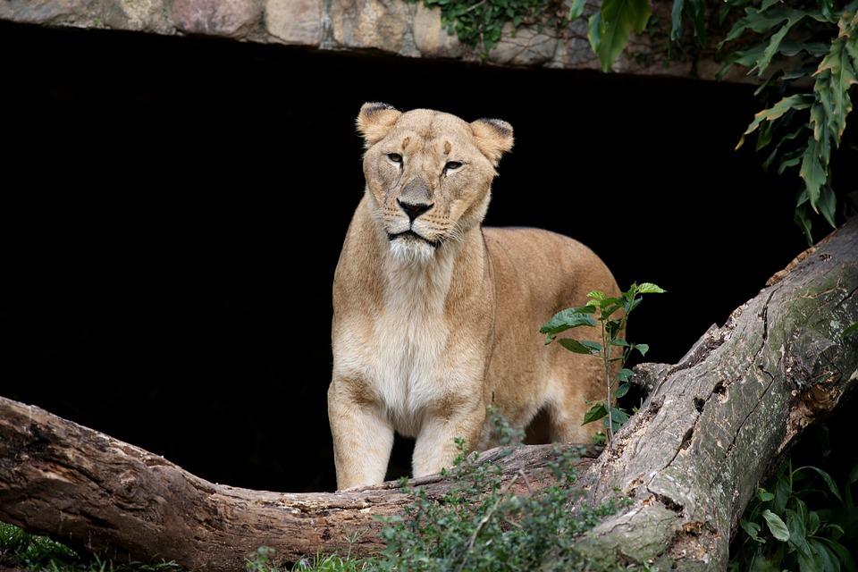 leone, female, animal