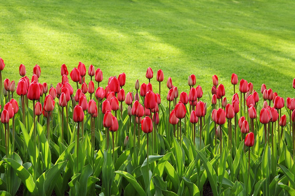 tulips, bloom, blossom
