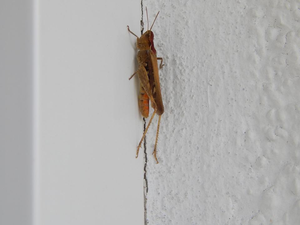 cricket, insect, tettigonia viridissima