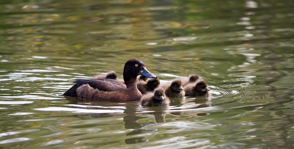 duckling, ducklings, baby ducklings