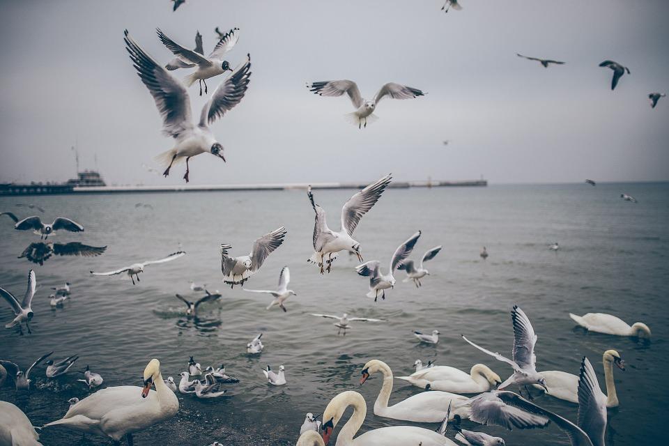 birds, ducks, seagulls