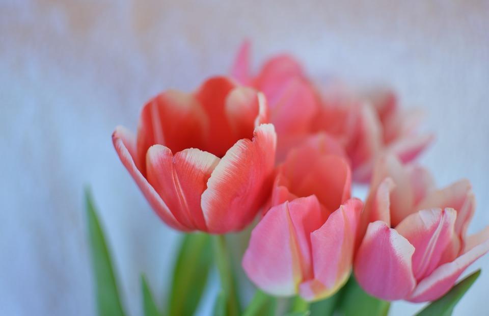 flowers, tulip, bright