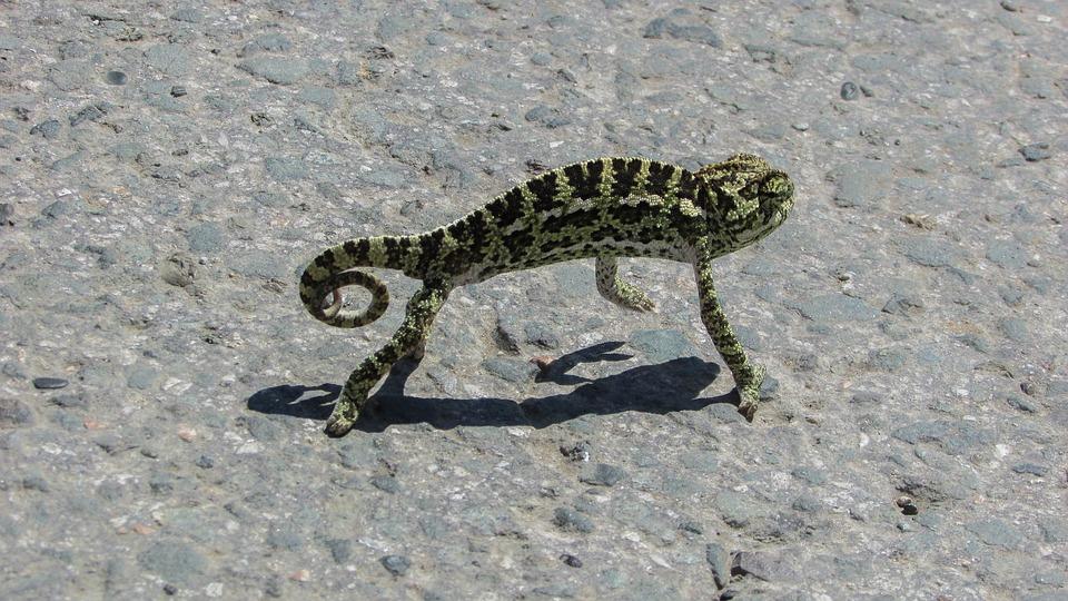 cyprus, chameleon, animal