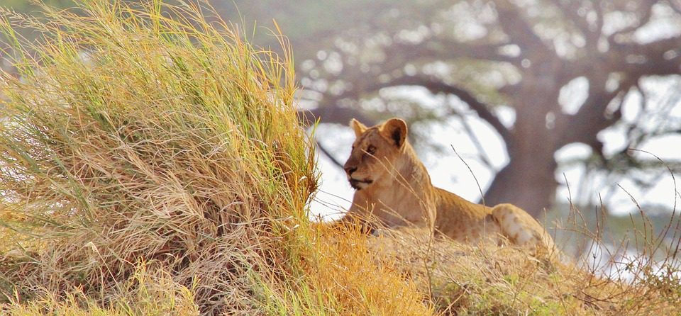 lion, africa, safari