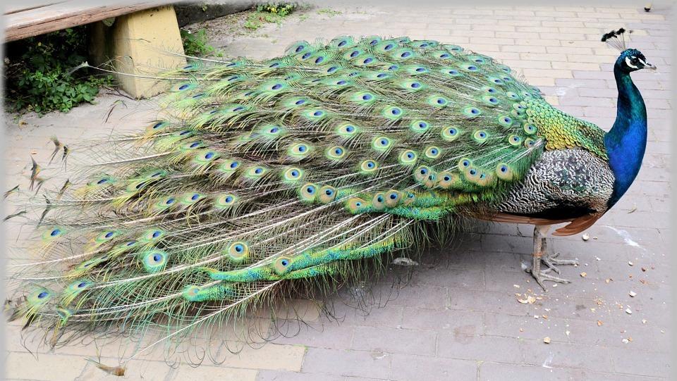 peacock, proud bird, colorful