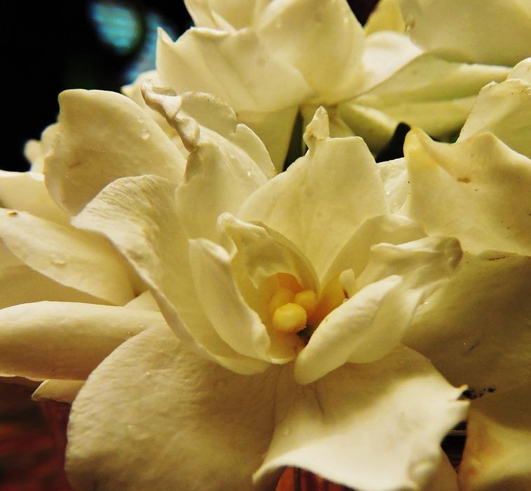 gardenias, flower, white