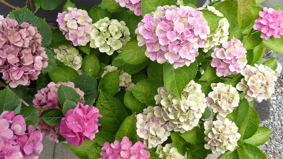 hydrangeas, flowers, pink