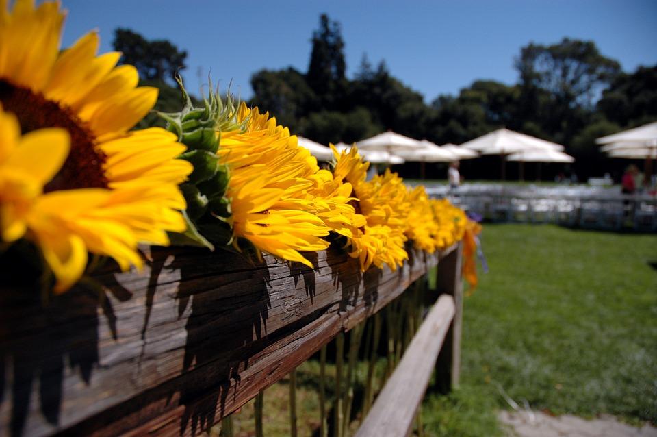 sunflowers, fence, flower pot