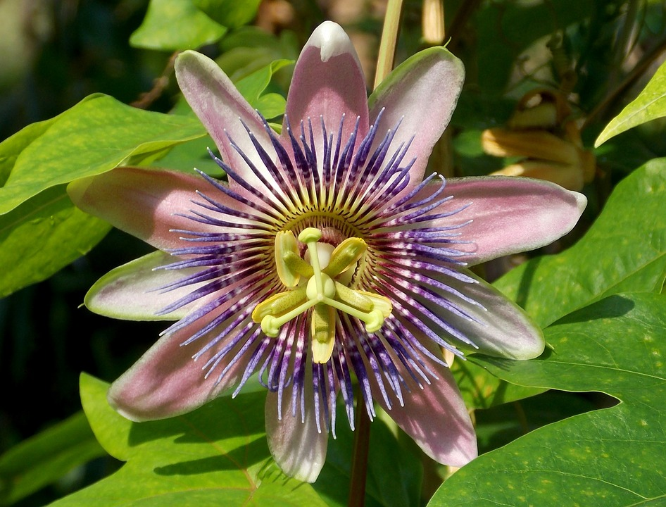passion flower, exotic flower, blossom