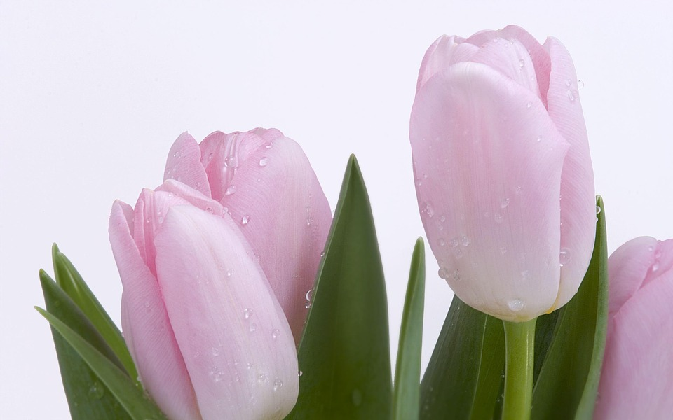 tulips, pink, flowers