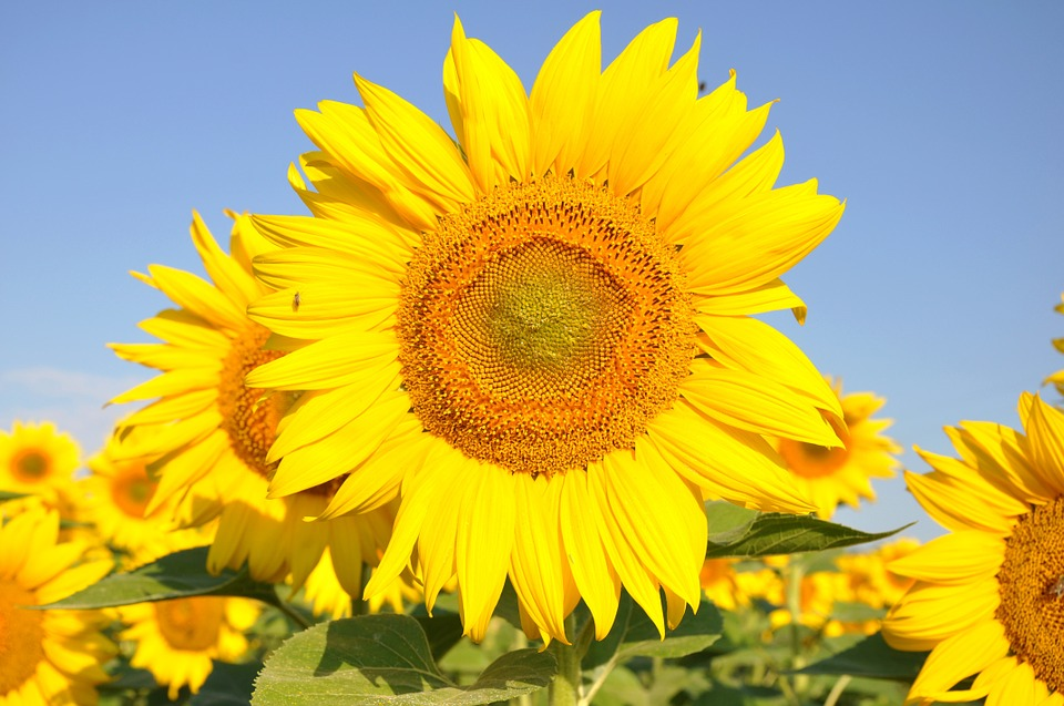 sunflower, yellow flower, sunflower field