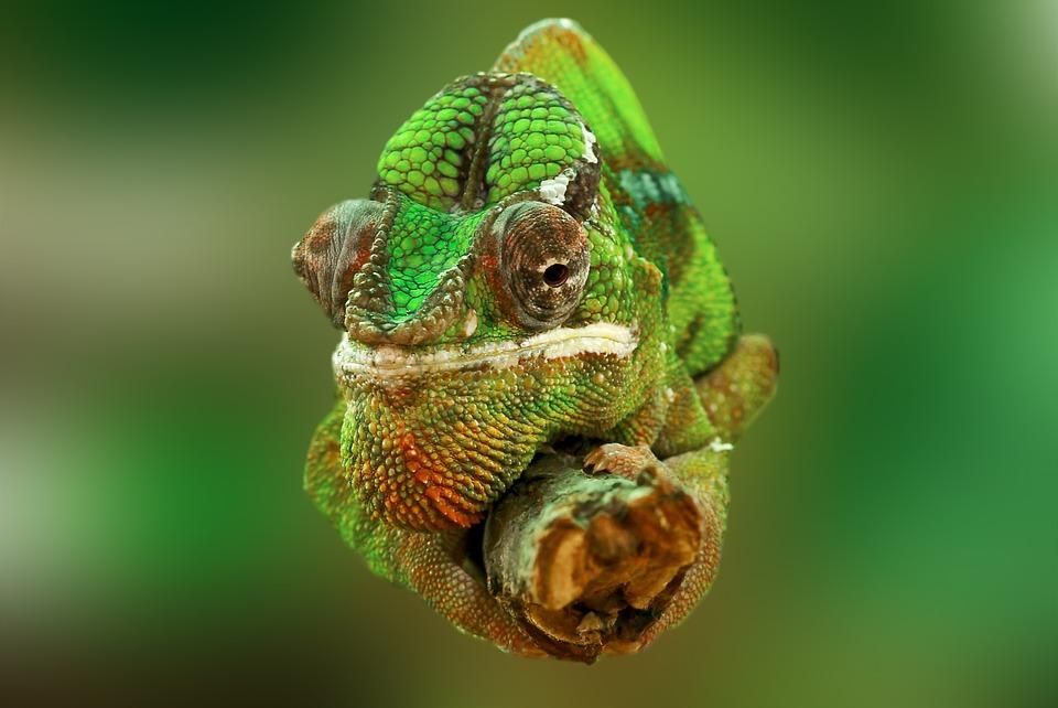 chameleon, reptile, lizard