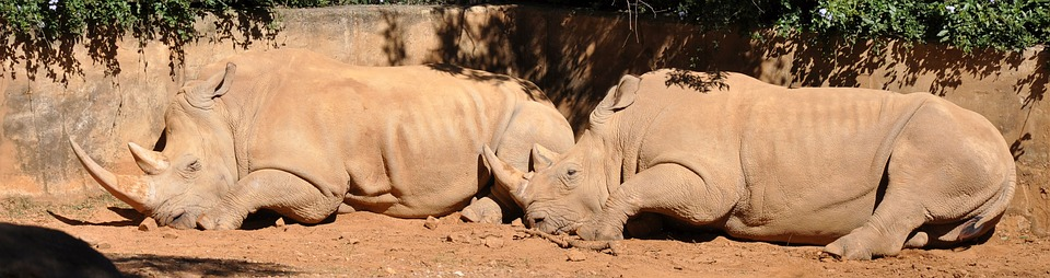 rhino, wildlife, south africa