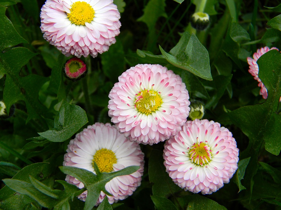 daisy, pink flowers, small flowers