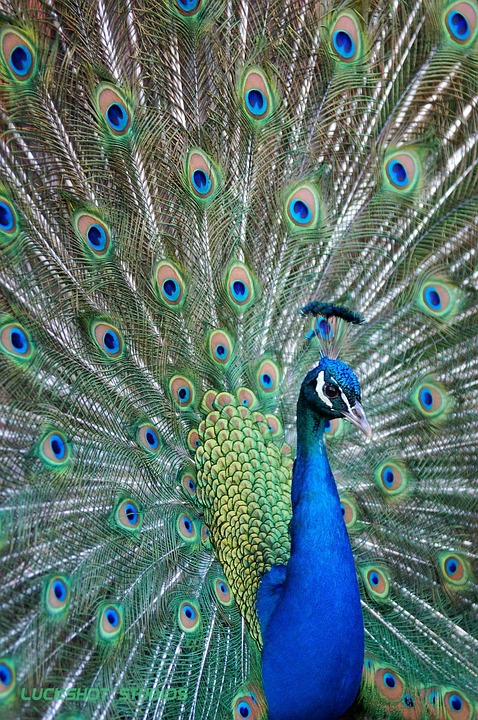 bird, peacock, colorful