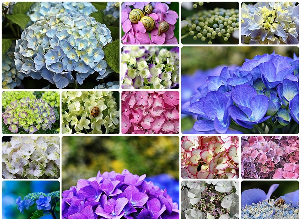 hydrangeas, collage, hydrangea-collage