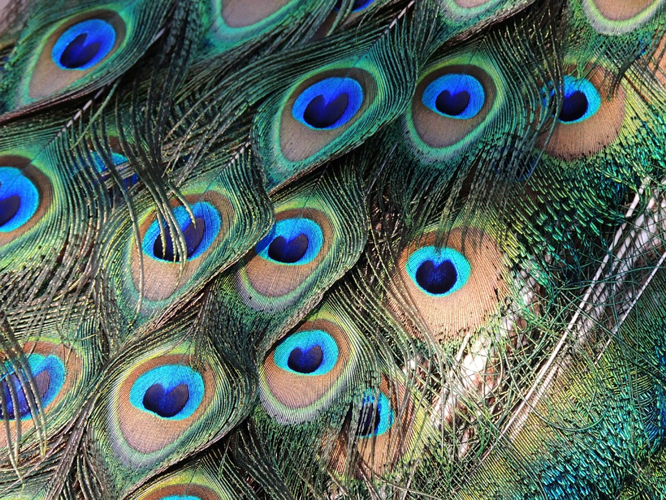 peacock feathers, bird, colorful