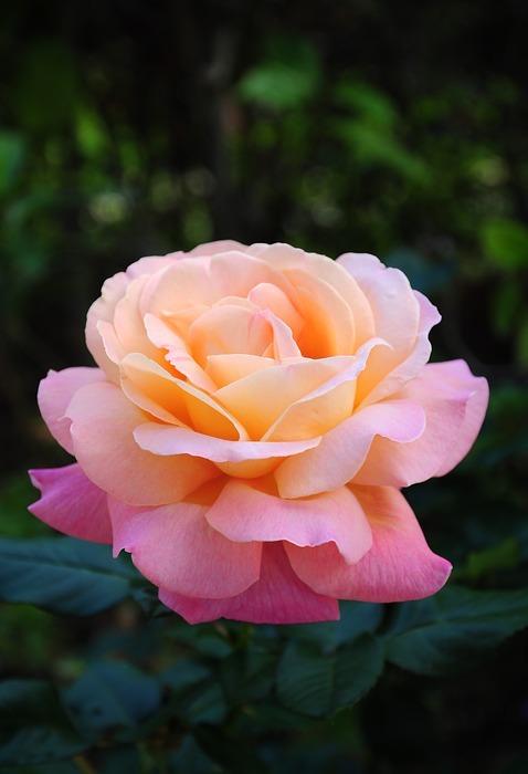 pink gardenia, rubiaceae family, flower