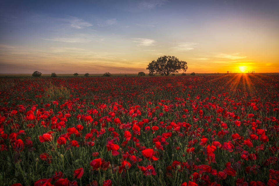 poppies, sunset, red
