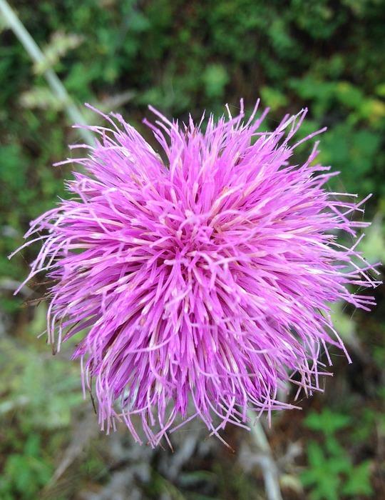 purple flower, wild, exotic