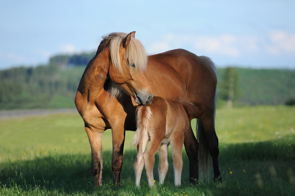 horse, mare, foal
