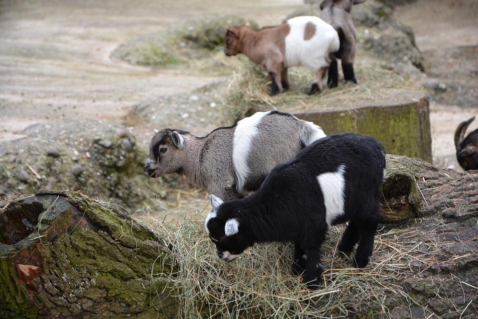 goat, baby, animal