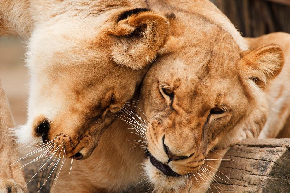 africa, animal, big