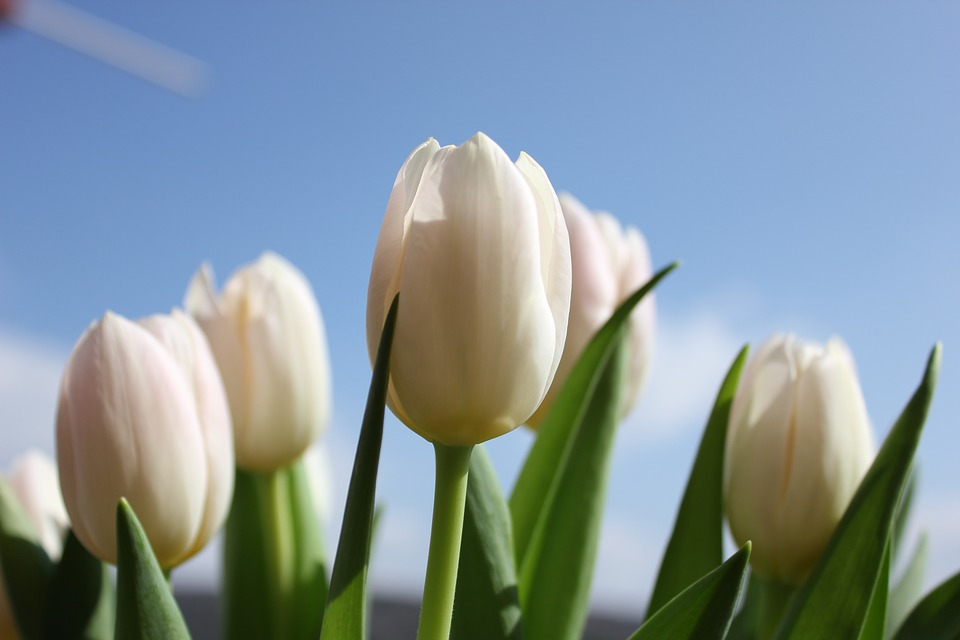 tulips, flower, heaven