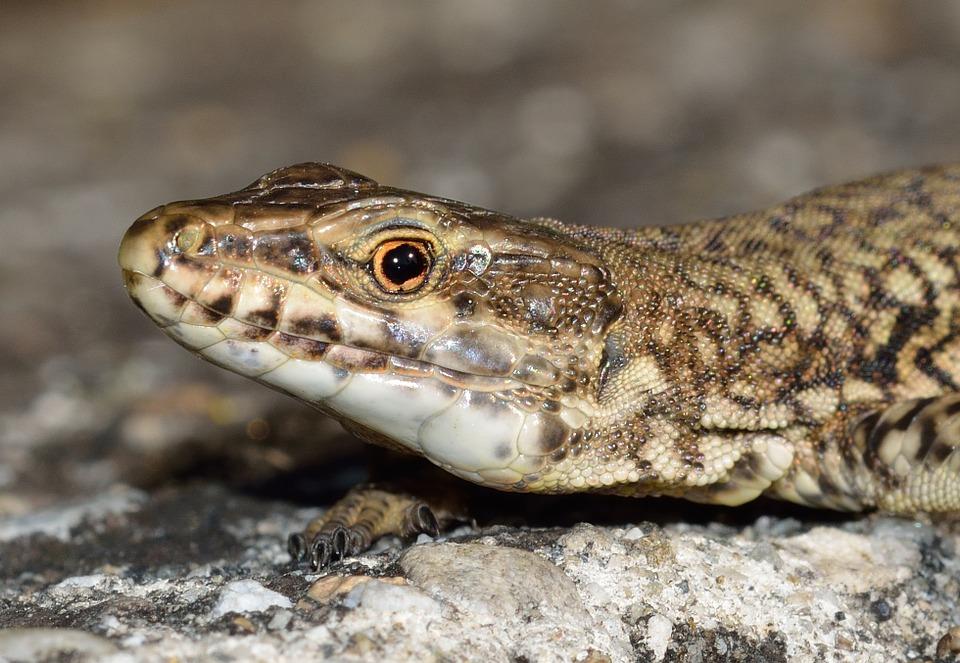 reptiles, lizard, podarcis